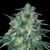 Samsara Seeds Jekyll Passion Feminized
