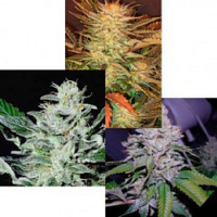 Paradise Seeds Indica Champion Pack Feminised