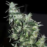 KC Brains Seeds Haze Special Feminised