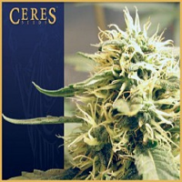 Ceres Seeds Kush Feminized