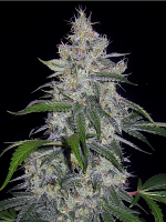 Mephisto Genetics Seeds Fantasmo Express Auto Feminized
