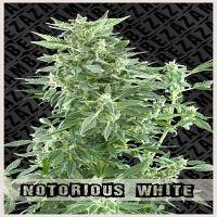 Zambeza Seeds Notorious White Auto Feminized