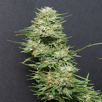 Big Head Seeds Heavy Head Feminized