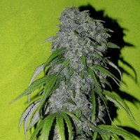 Spliff Seeds Neville's Haze Feminised (Gold)