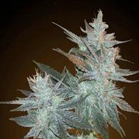 Resin Seeds L.A. Ultra Regular