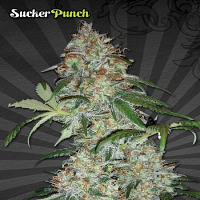 Auto Seeds Sucker Punch Auto Feminized