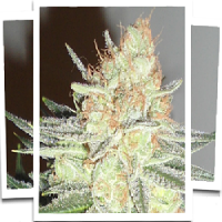 Emerald Triangle Seeds Cotton Candy Cane Feminised