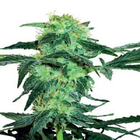 White Label Seed Company White Ice Regular