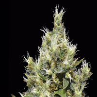 CBD Seeds Northern Feminized