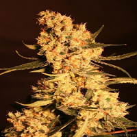Eva Seeds Jamaican Dream Feminized