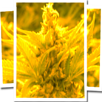 Emerald Triangle Seeds Cheesy Headband Regular