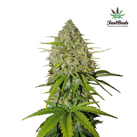 FastBuds Seeds Grapefruit'matic Auto Feminised