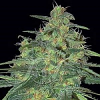 Samsara Seeds Sweet Black Angel Feminized