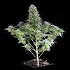 Dinafem Seeds White Siberian Feminized (PICK N MIX)