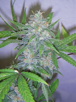 Bulk Seeds Premium Honey Trap Feminized