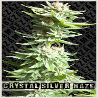 Zambeza Seeds Crystal Silver Haze Feminized