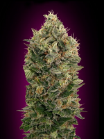 Advanced Seeds Auto Black Diesel Feminised