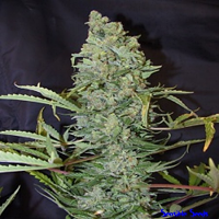 Female Seeds ICE Indoor Feminized