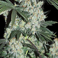 Super Strains 7th Wave Feminized