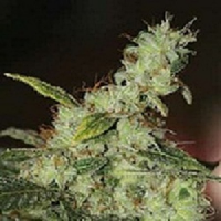 Vulkania Seeds White Diesel Feminized