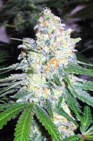 Garden of Green Seeds Diesel Berry Cough Feminized