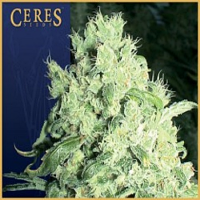 Ceres Seeds White Indica Regular