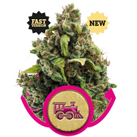 Royal Queen Seeds Candy Kush Express Feminized Fast Version