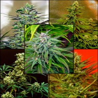 Magus Genetics Seeds Mosaic Mixed Regular