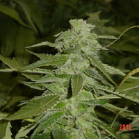 Jordan of the Islands Seeds God's Northern Lights Feminized