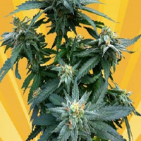 Freedom of Seeds Doctor Kush Feminized