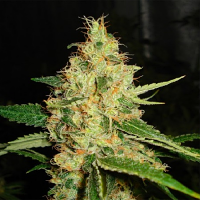Karma Genetics Seeds Dominator Regular