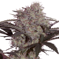 Seedmakers Seeds Jack Widow Feminized