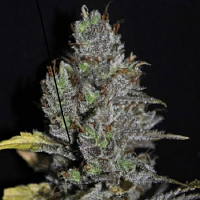 VIP Seeds Viagrra Feminised