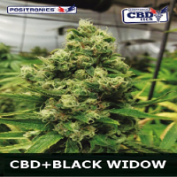 Positronics Seeds CBD Black Widow Feminized