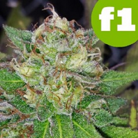 Roor Seeds Shivawreck F1 Feminized