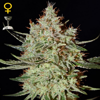 Green House Seeds K-Train Feminized