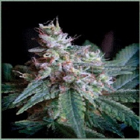 Sweet Seeds Cream Caramel Feminized