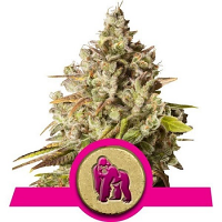 Royal Queens Seeds Royal Gorilla Feminized (PICK N MIX)