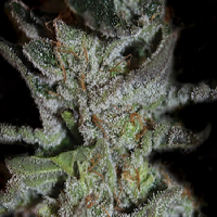 Kera Seeds LA Widow Feminised