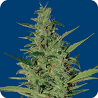 Seeds of Life Haze Auto Feminized