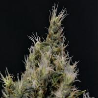 CBD Seeds Vanilla Haze Feminized