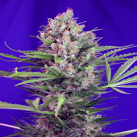 Sweet Seeds Cream Mandarine F1 Fast Version Feminized