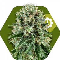 Zambeza Seeds Bubble Gum Auto Feminized