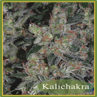 Mandala Seeds Kalichakra Regular