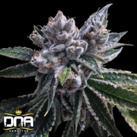 DNA Genetics Seeds El Fuego Auto Feminized