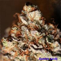 SinCity Seeds SinMint Cookies Regular