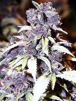 Sensible Seeds Premium Selection The Blue Wizard Feminized