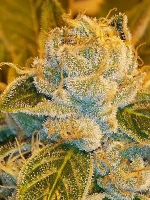 Ripper Seeds Sour Ripper Feminized