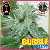 Big Buddha Seeds Bubble Cheese Feminized