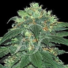 Samsara Seeds Punky Lion Feminized